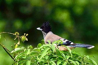 Black-headed jay - Image: Black headed Jay