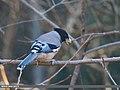 Black-headed Jay (Garrulus lanceolatus) (39607918501).jpg