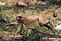 Black-striped capuchin (Cebus libidinosus).JPG