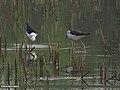 Black-winged Stilt (Himantopus himantopus) (15706640538).jpg