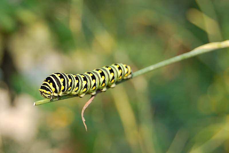 "A quick online search for ""white, black, green and yellow caterpillars"" and"