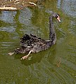 Black Swan on the River Churnet - geograph.org.uk - 397030.jpg