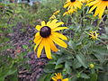 Black eyed susan blossoms (9609510962).jpg
