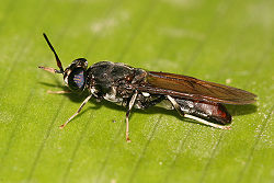 Black soldier fly.jpg