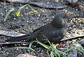 Blackbird in Madrid (Spain) 31.jpg