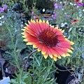 Blanketflower - Gaillardia aristata IMG 6110--.jpg