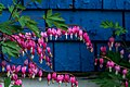 Bleeding Hearts Against Blue Shingles (27032531290).jpg