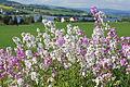 Blomster på Helgøya.JPG