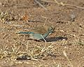 Blue-breasted Cordonbleu (Uraeginthus angolensis).jpg