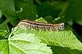 Blue-striped Caterpillar (5855878248).jpg