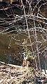 Blue Heron Ayr Mount Hillsborough NC 123306 (31630255740).jpg