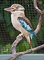 Blue Winged Kookaburra-01and (3126427394).jpg