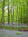 Bluebell wood - geograph.org.uk - 169076.jpg