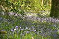 Bluebells in Plymbridge Woods (4552).jpg
