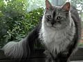 Bluesmoke Maine Coon Female cat.jpg