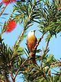 Blyth's Starling or Malabar starling Sturnia blythii by Dr Raju Kasambe.JPG