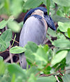 Boat-billed Heron (6900652302).jpg