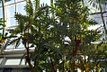 Bocconia frutescens 0zz.jpg