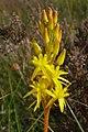 Bog asphodel (Narthecium ossifragum), Cranes Moor, New Forest - geograph.org.uk - 495045.jpg