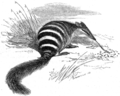 Bonded Myrmicobius, or ant-eater.png