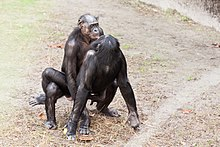 Bonobo monkeys homosexual behavior