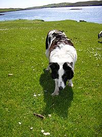 A female Border Collie named Tess