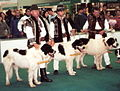 Bosnian and Herzegovinian Shepherd Dog (Tornjak) group.jpg