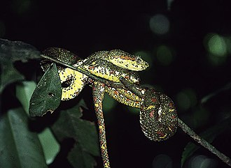 Serpentario Viborana - Eyelash viper, one of the species in display at Serpentario Viborana
