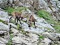 Bouquetins près du col de la Vanoise, 2014 (13).jpg