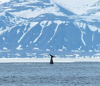 Sirmilik National Park - Bowhead whale tail-slaps in a distance