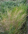 Brachypodium retusum hivern Canyelles.jpg