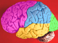 Brain lobes - lateral surface2.png