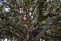 Branques de ficus, parc de Canalejas d'Alacant.JPG