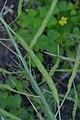 Brassica rapa subsp. campestris pods (01).jpg