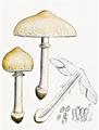 Bresadola - Lepiota excoriata.png