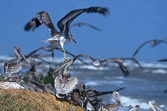 Breton National Wildlife Refuge - Image: Breton NWR Pelicans DO Igov