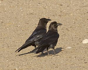 Brown-necked raven - Two in Egypt