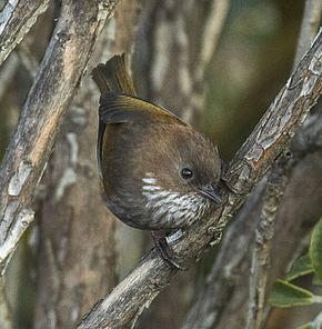 Description de l'image Brown-throated (Ludlow) Fulvetta - Sela Pass - Arunachal Pradesh - India.jpg.