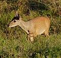 Brown Brocket (Mazama gouazoubira) male (29093746740).jpg