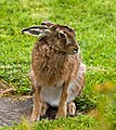 Brown Hare - geograph.org.uk - 1322278.jpg