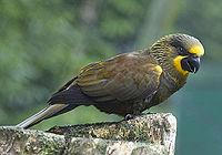 Brown Lory (Chalcopsitta duivenbodei)-7