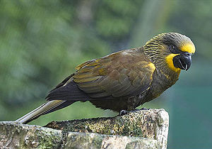 Brown lory - Image: Brown Lory (Chalcopsitta duivenbodei) 7