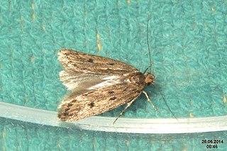 File Brown House Moth Bedroom 15010988657 Jpg Wikimedia Commons