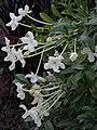 Brunfelsia abbottii.jpg