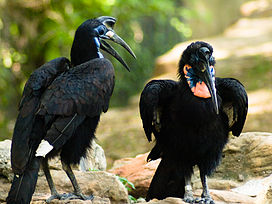 Bucorvus abyssinicus -Fort Worth Zoo-8.jpg