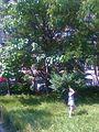 Bucuresti, Romania. Copac in plenitudinea lui, 20 iunie 2017, aproape de sarbatoarea Sanzienelor, 24 iunie.jpg
