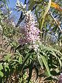 Buddleja salviifolia KS2011ZA226.jpg