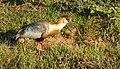 Buff-necked Ibis (Theristicus caudatus).jpg