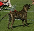 Bullmastiff brindle male.jpg