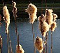 Bullrushes on the Chesterfield canal - geograph.org.uk - 693522.jpg